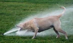 dog-firehose